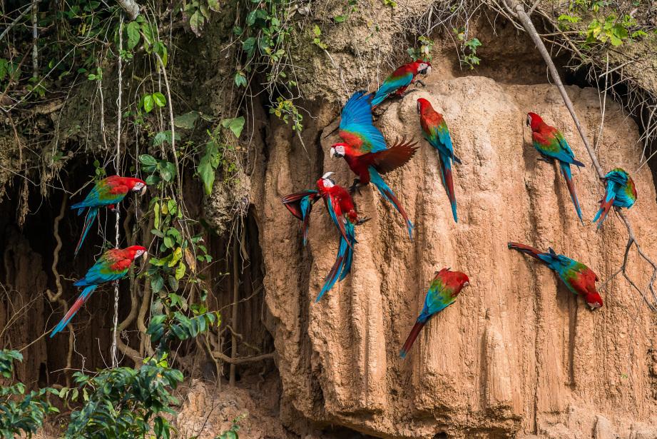 Les perroquets de la jungle amazonienne péruvienne. Photo : shutterstock
